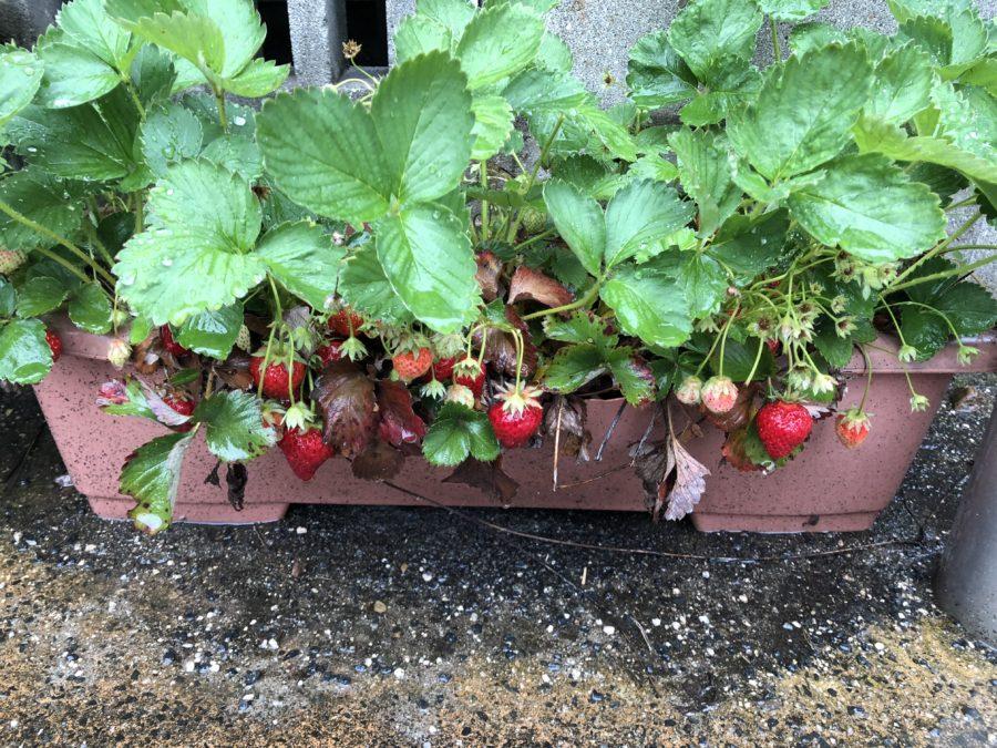 今年はイチゴが豊作でした1